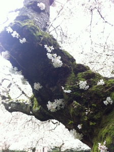 white out blossoms